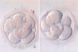 Image of eggs and cells